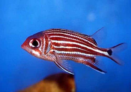 Рыба-белка трехпятнистая (Sargocentron cornutum)