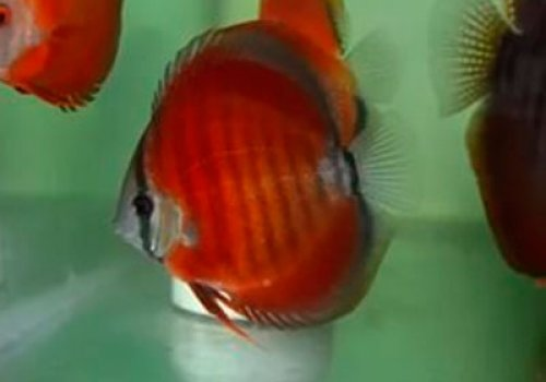 Дискус Красная роза (Discus Rose red / Alenquer)