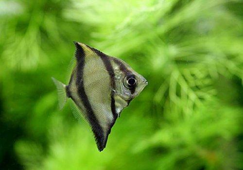 Монодактил себа (Monodactylus sebae)