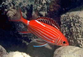 crown-squirrelfish-sargocentron-diadema
